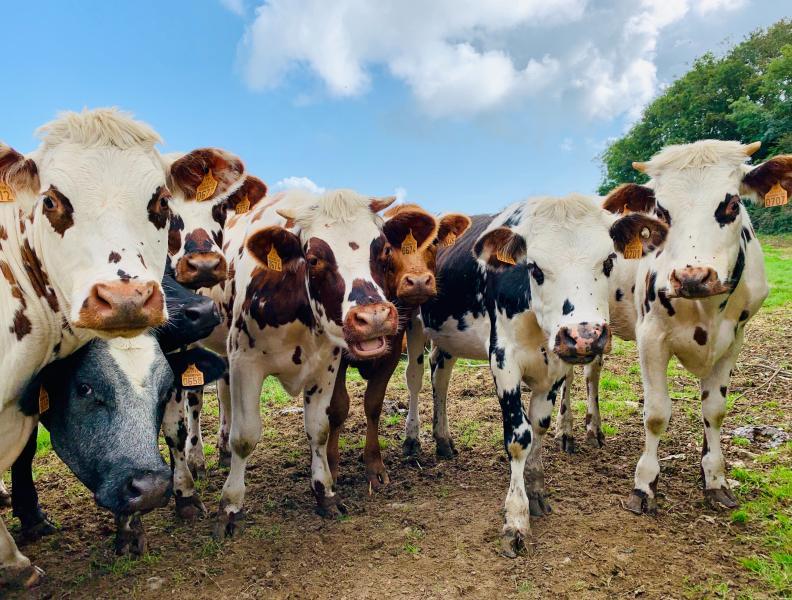 Cows Riverdale