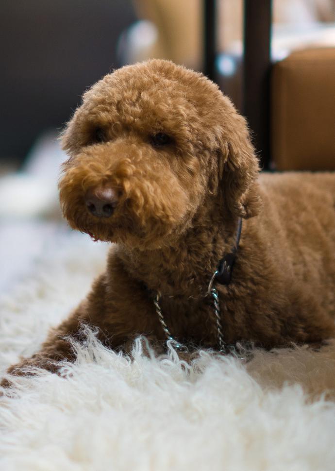 Poodle on sheepskin rug