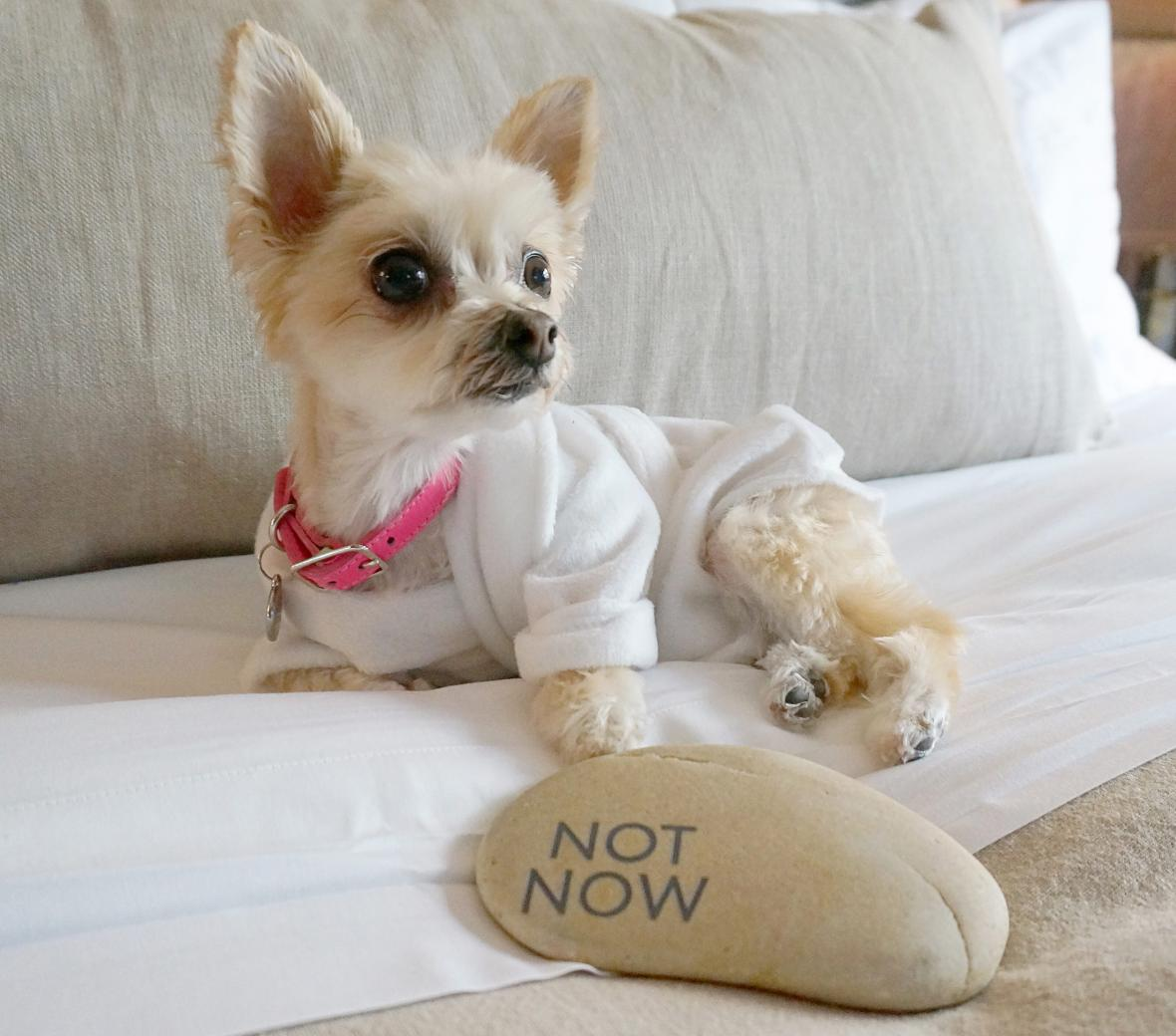 A long haired chihuahua relaxing on a bed