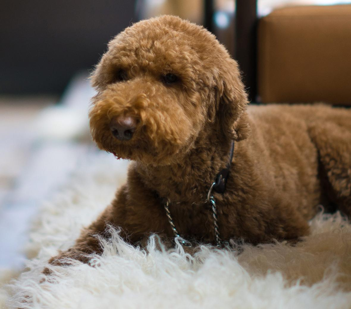 Poodle on sheepskin rug