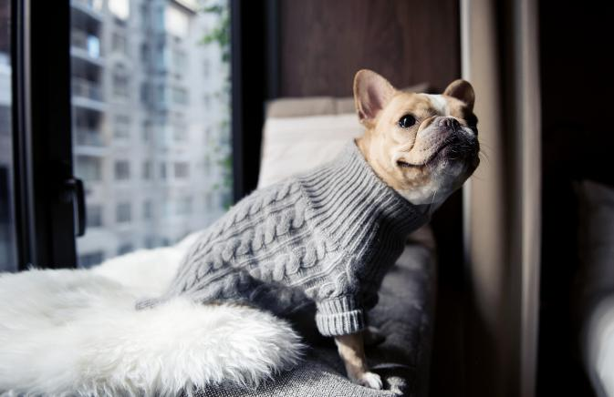A French Bulldog in a sweater sitting by a window