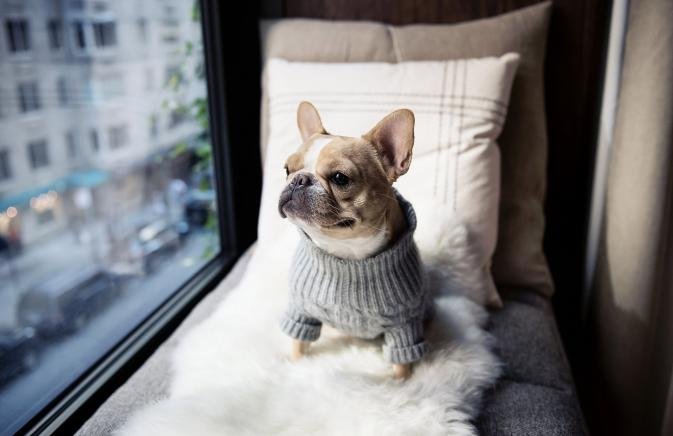 A French Bulldog in a sweater staring out a window