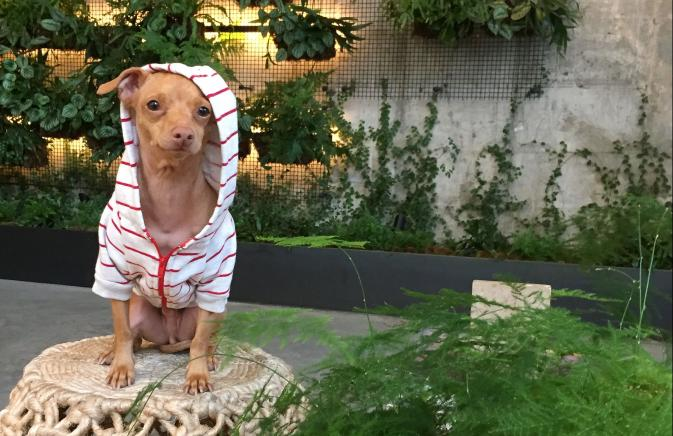 Small dog with hood on at Brooklyn Hotel