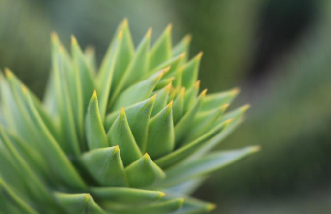 A close up of a spiky green plant