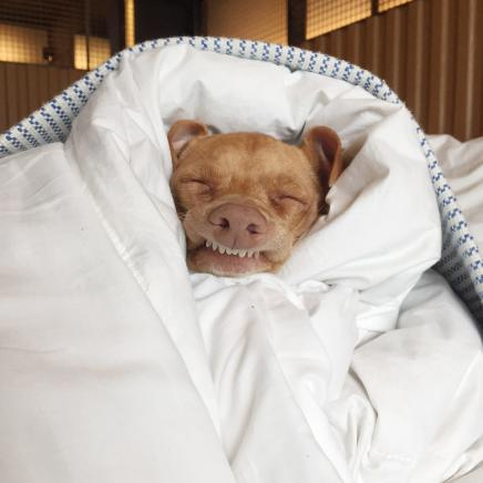 A small smiling dog wrapped in a white duvet
