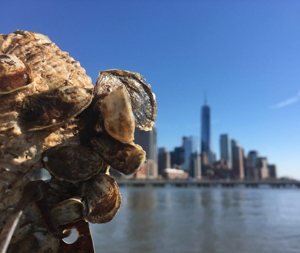 Saving The New York Harbor, One Oyster Shell At A Time