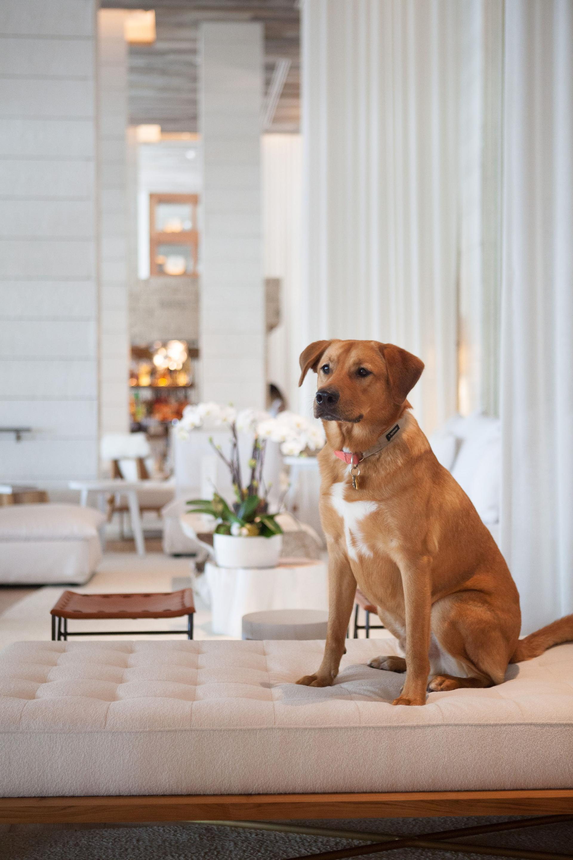 A brown dog sitting on a beige chaise lounge in a hotel